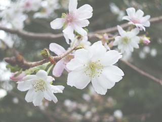 十月桜の花